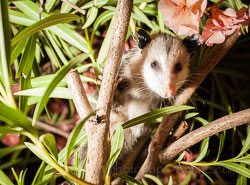 MagMod MagSphere: possum in a tree
