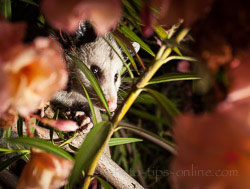 MagMod MagSphere: possum in a tree, example 2